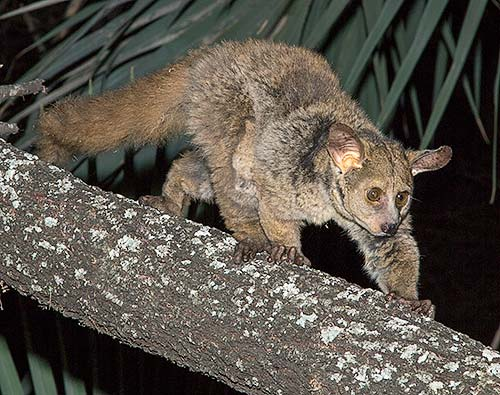 Greater galago Letaba